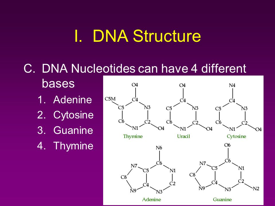 I. DNA Structure C.DNA Nucleotides can have 4 different bases 1.Adenine 2.Cytosine 3.Guanine 4.Thymine