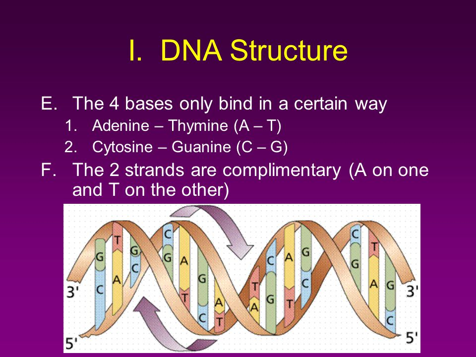 I. DNA Structure E.The 4 bases only bind in a certain way 1.Adenine – Thymine (A – T) 2.Cytosine – Guanine (C – G) F.The 2 strands are complimentary (