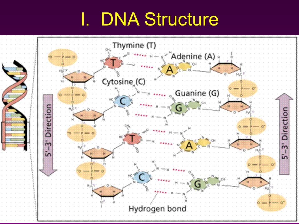 I. DNA Structure