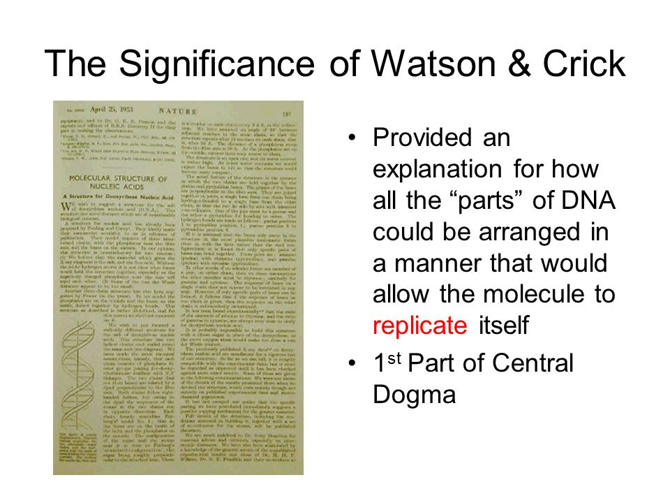 The Significance of Watson & Crick Provided an explanation for how all the parts of DNA could be arranged in a manner that would allow the molecule to replicate itself 1 st Part of Central Dogma