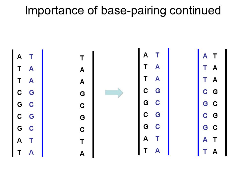 ATTCGCGATATTCGCGAT TAAGCGCTATAAGCGCTA TAAGCGCTATAAGCGCTA Importance of base-pairing continued ATTCGCGATATTCGCGAT TAAGCGCTATAAGCGCTA TAAGCGCTATAAGCGCTA