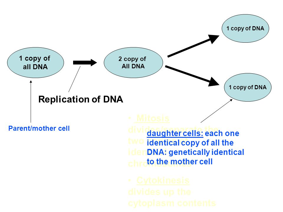 1 copy of all DNA 2 copy of All DNA Replication of DNA 1 copy of DNA Mitosis divides/separate the two copies of identical chromosomes Cytokinesis divides up the cytoplasm contents Parent/mother cell daughter cells: each one identical copy of all the DNA: genetically identical to the mother cell