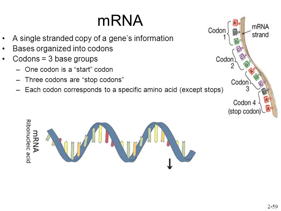 mRNA A single stranded copy of a gene's information Bases organized into codons Codons = 3 base groups –One codon is a start codon –Three codons are stop codons –Each codon corresponds to a specific amino acid (except stops) 2-59