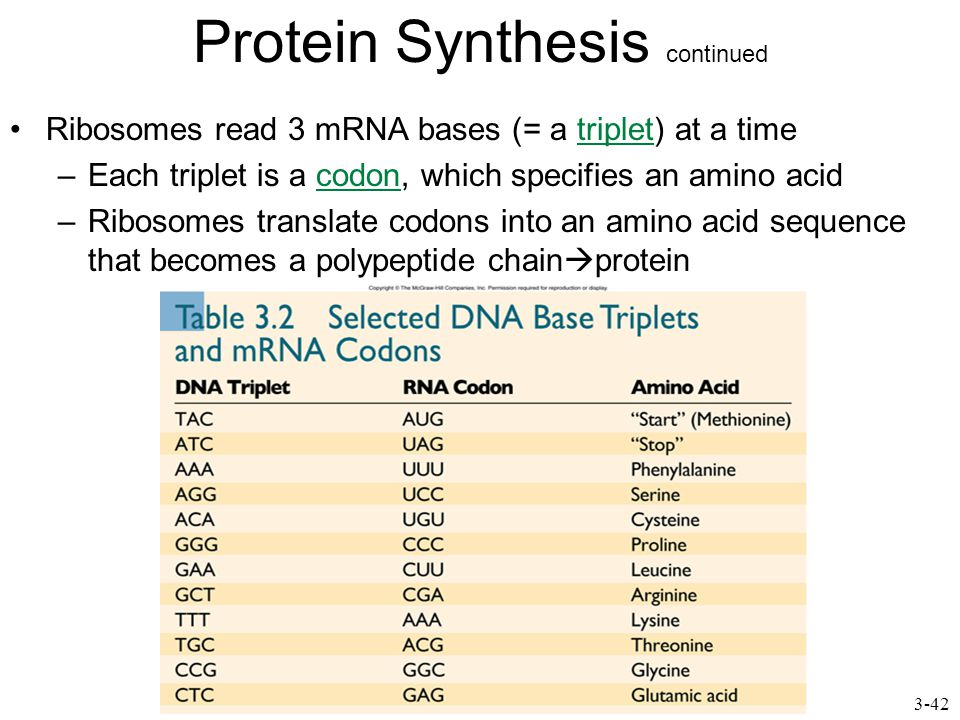 Protein Synthesis continued Ribosomes read 3 mRNA bases (= a triplet) at a time –Each triplet is a codon, which specifies an amino acid –Ribosomes translate codons into an amino acid sequence that becomes a polypeptide chain  protein 3-42