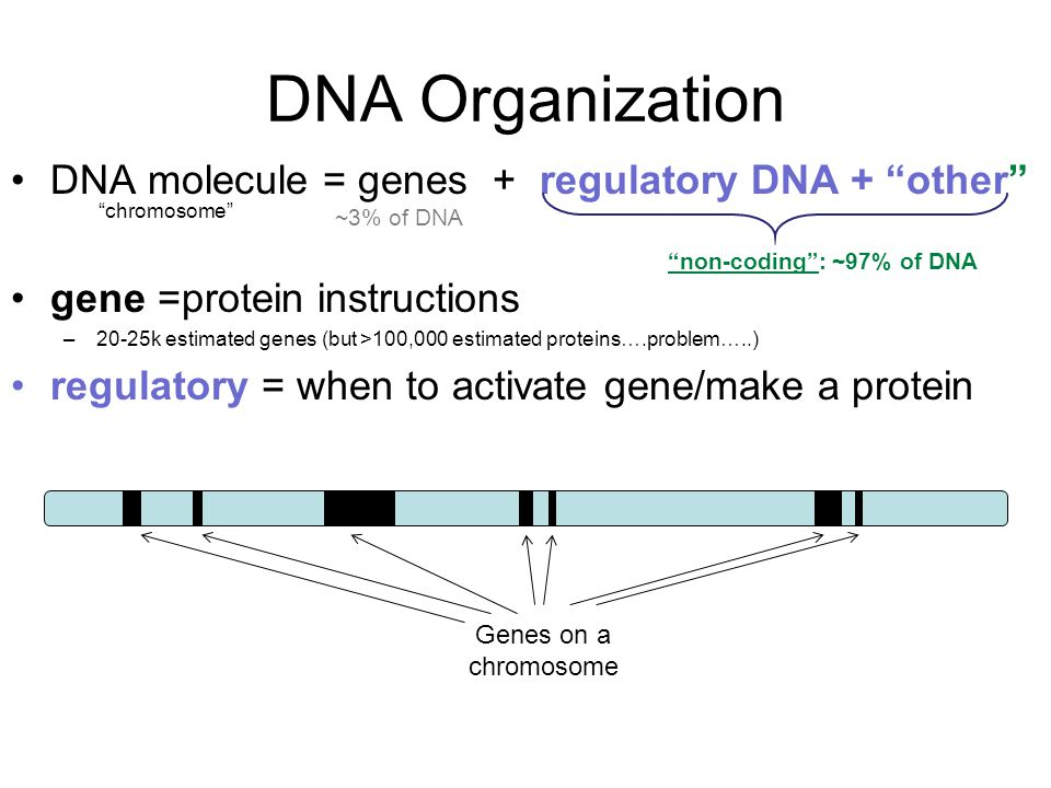 DNA Organization DNA molecule = genes + regulatory DNA + other gene =protein instructions –20-25k estimated genes (but >100,000 estimated proteins….problem…..) regulatory = when to activate gene/make a protein non-coding : ~97% of DNA ~3% of DNA chromosome Genes on a chromosome