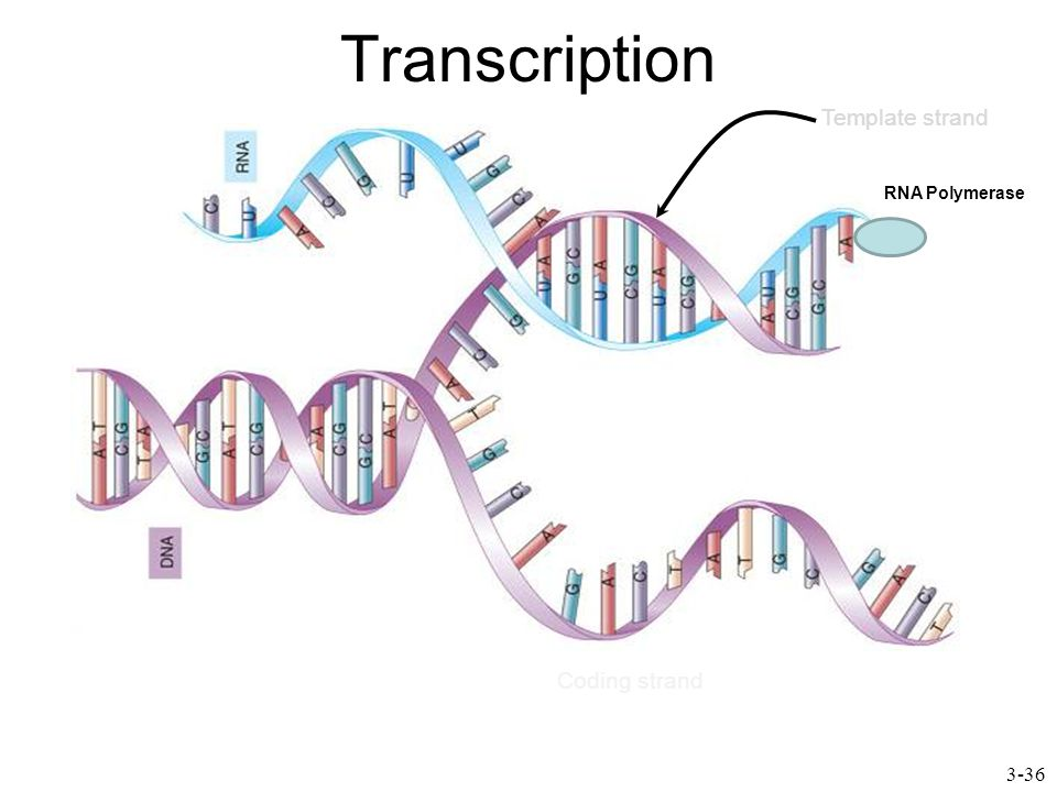 Transcription 3-36 Template strand Coding strand RNA Polymerase