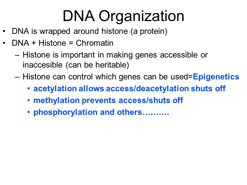 DNA Organization DNA is wrapped around histone (a protein) DNA + Histone = Chromatin –Histone is important in making genes accessible or inaccesible (can be heritable) –Histone can control which genes can be used=Epigenetics acetylation allows access/deacetylation shuts off methylation prevents access/shuts off phosphorylation and others……….