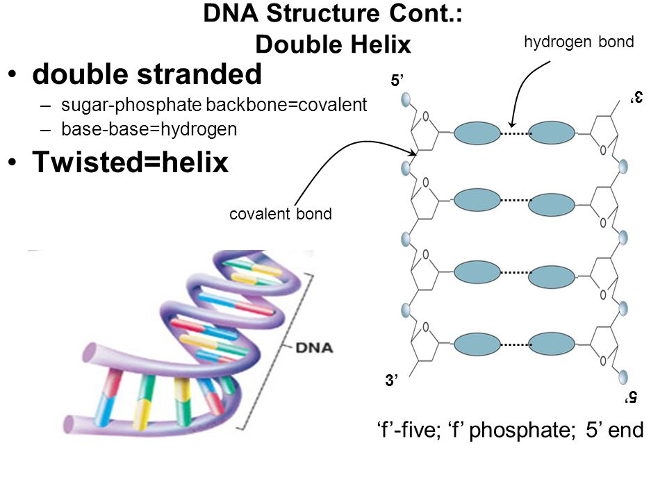 5' 3' DNA Structure Cont.: Double Helix double stranded –sugar-phosphate backbone=covalent –base-base=hydrogen Twisted=helix 5' 3' covalent bond hydrogen bond 'f'-five; 'f' phosphate; 5' end