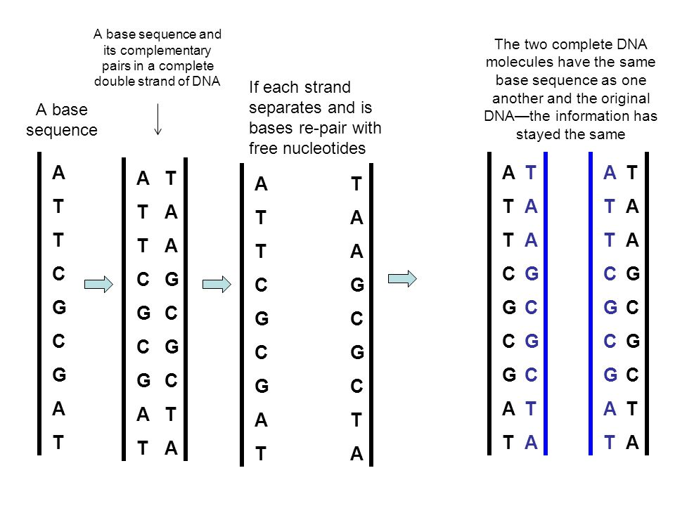 A base sequence ATTCGCGATATTCGCGAT ATTCGCGATATTCGCGAT TAAGCGCTATAAGCGCTA A base sequence and its complementary pairs in a complete double strand of DNA ATTCGCGATATTCGCGAT TAAGCGCTATAAGCGCTA If each strand separates and is bases re-pair with free nucleotides ATTCGCGATATTCGCGAT TAAGCGCTATAAGCGCTA TAAGCGCTATAAGCGCTA ATTCGCGATATTCGCGAT The two complete DNA molecules have the same base sequence as one another and the original DNA—the information has stayed the same