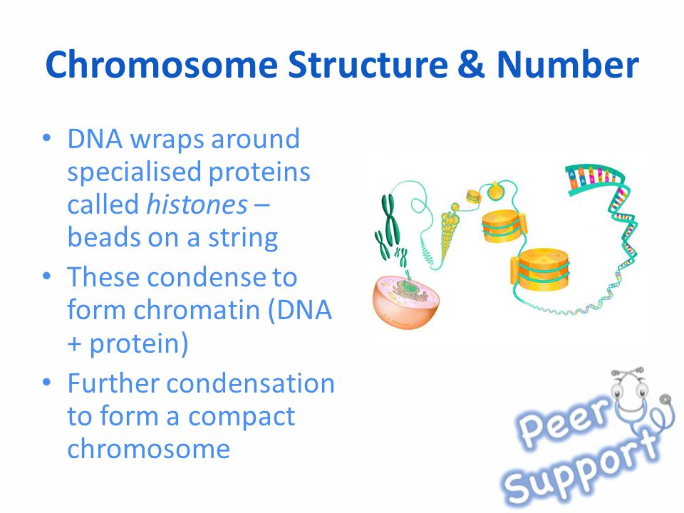 Chromosome Structure & Number DNA wraps around specialised proteins called histones – beads on a string These condense to form chromatin (DNA + protein) Further condensation to form a compact chromosome
