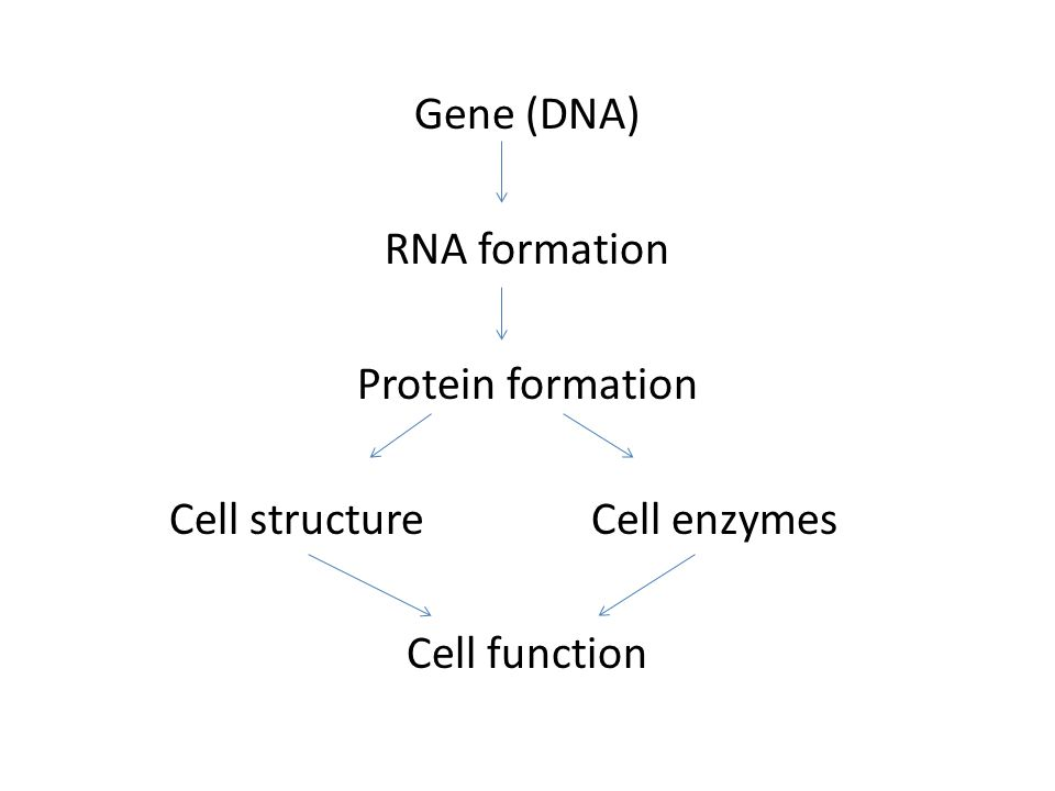 Gene (DNA) RNA formation Protein formation Cell structureCell enzymes Cell function