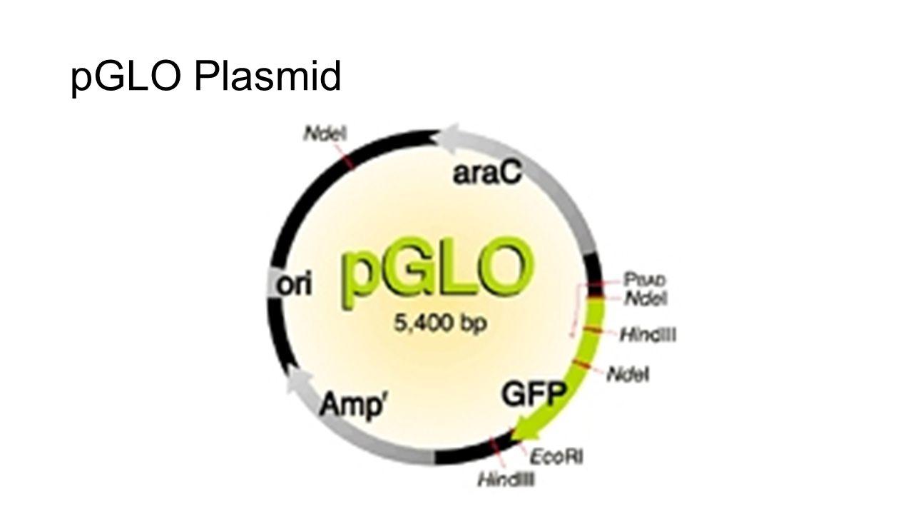 pGLO Plasmid