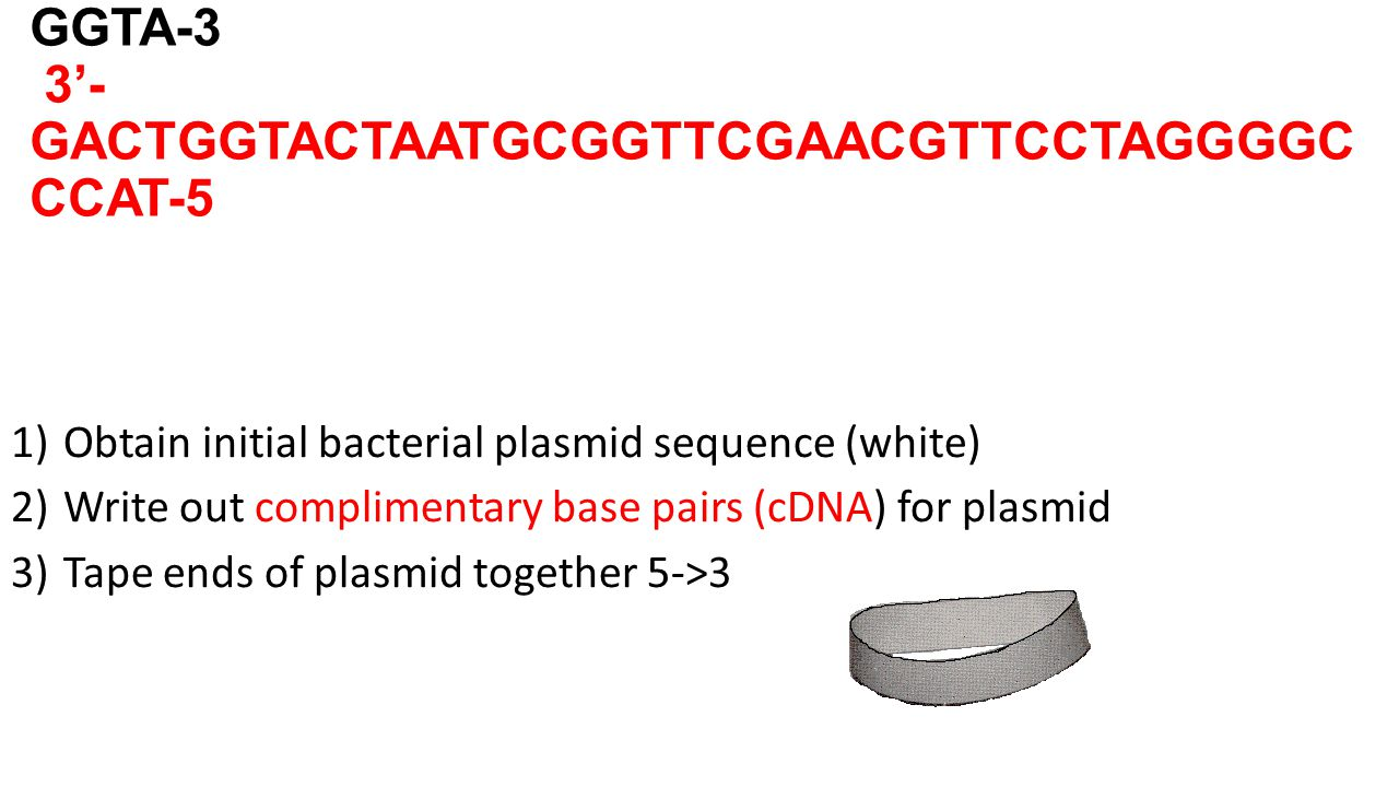 5'- CTGACCATGATTACGCCAAGCTTGCAAGGATCCCCG GGTA-3 3'- GACTGGTACTAATGCGGTTCGAACGTTCCTAGGGGC CCAT-5 1)Obtain initial bacterial plasmid sequence (white) 2)Write out complimentary base pairs (cDNA) for plasmid 3)Tape ends of plasmid together 5->3