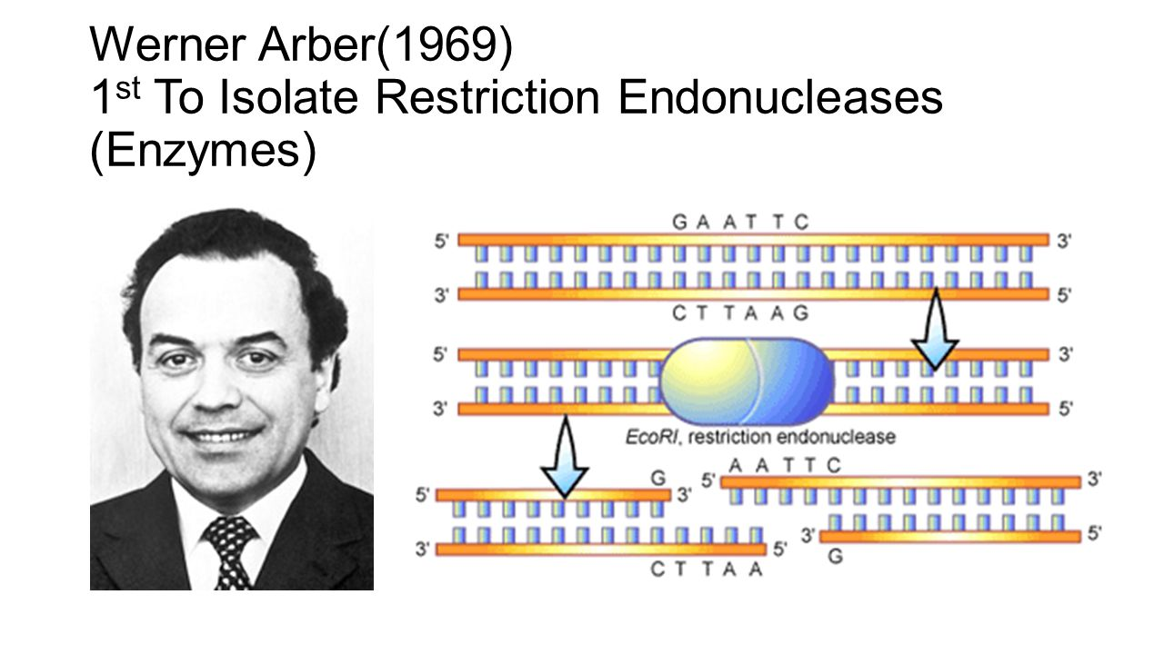 Restriction Endonucleases Enzymes that cut DNA at specific locations on the strand known as restriction sites Naturally produced by bacteria to protect them against viruses Restriction sites differ depending upon the sequence of nucleotides When restriction enzymes cut the DNA strand they can leave unpaired nucleotides called sticky ends