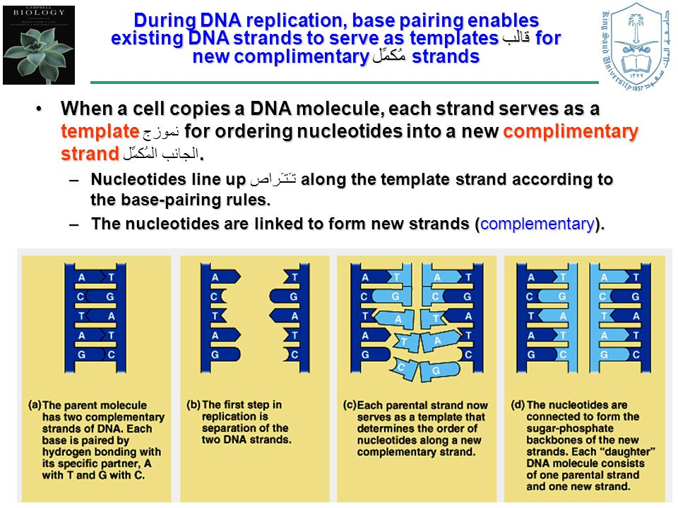 2 During DNA replication, base pairing enables existing DNA strands to serve as templates قالبfor new complimentary مُكمِّلstrands When a cell copies a DNA molecule, each strand serves as a template for ordering nucleotides into a new complimentary strand.When a cell copies a DNA molecule, each strand serves as a template نموزج for ordering nucleotides into a new complimentary strand الجانب المُكمِّل.