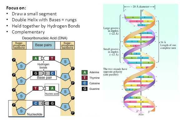 Focus on: Draw a small segment Double Helix with Bases = rungs Held together by Hydrogen Bonds Complementary
