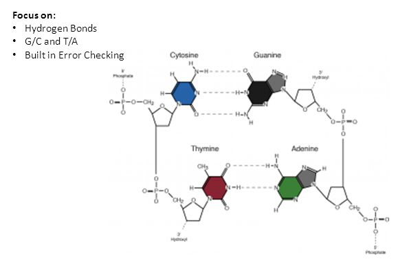 Focus on: Hydrogen Bonds G/C and T/A Built in Error Checking