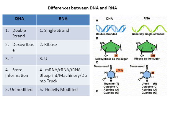 Differences between DNA and RNA DNARNA 1.Double Strand 1.