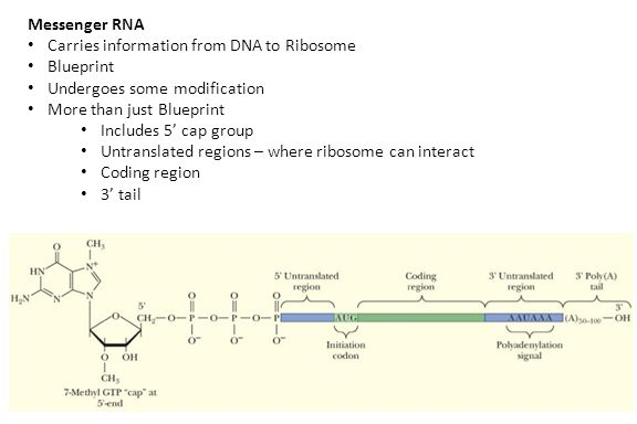 Messenger RNA Carries information from DNA to Ribosome Blueprint Undergoes some modification More than just Blueprint Includes 5' cap group Untranslated regions – where ribosome can interact Coding region 3' tail