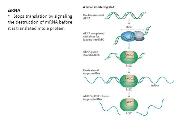Stops translation by signaling the destruction of mRNA before it is translated into a protein