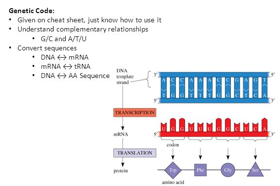 Genetic Code: Given on cheat sheet, just know how to use it Understand complementary relationships G/C and A/T/U Convert sequences DNA ↔ mRNA mRNA ↔ tRNA DNA ↔ AA Sequence