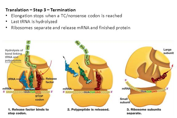 Translation – Step 3 – Termination Elongation stops when a TC/nonsense codon is reached Last tRNA is hydrolyzed Ribosomes separate and release mRNA and finished protein