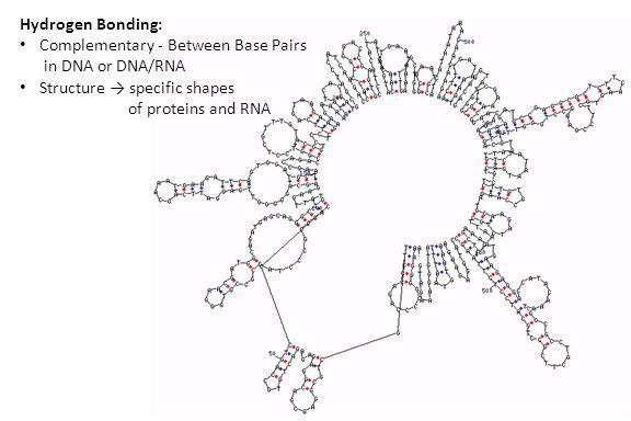 Hydrogen Bonding: Complementary - Between Base Pairs in DNA or DNA/RNA Structure → specific shapes of proteins and RNA