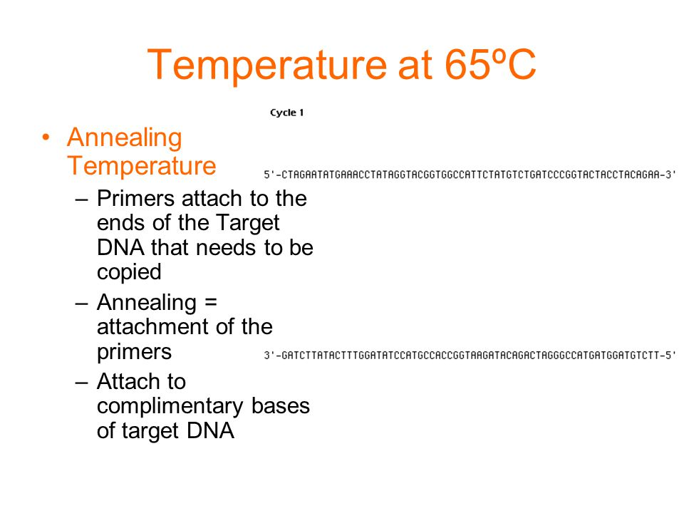 Temperature at 65ºC Annealing Temperature –Primers attach to the ends of the Target DNA that needs to be copied –Annealing = attachment of the primers –Attach to complimentary bases of target DNA