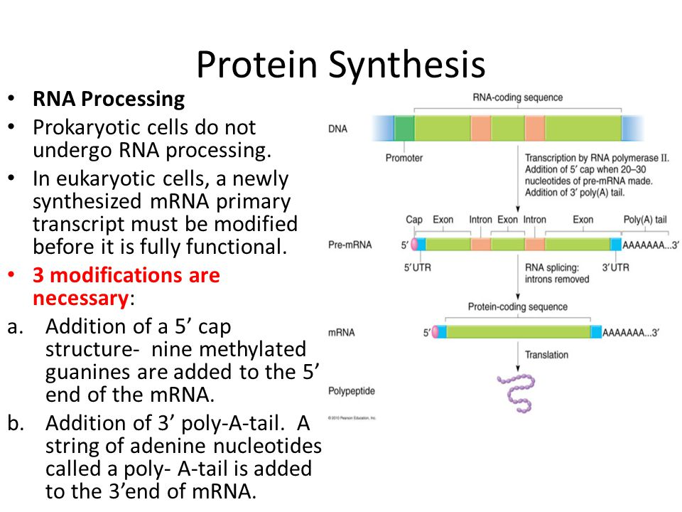 Protein Synthesis RNA Processing Prokaryotic cells do not undergo RNA processing. In eukaryotic cells, a newly synthesized mRNA primary transcript mus