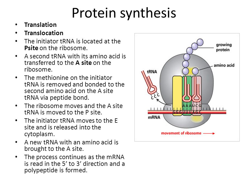 Protein synthesis Translation Translocation The initiator tRNA is located at the Psite on the ribosome. A second tRNA with its amino acid is transferr