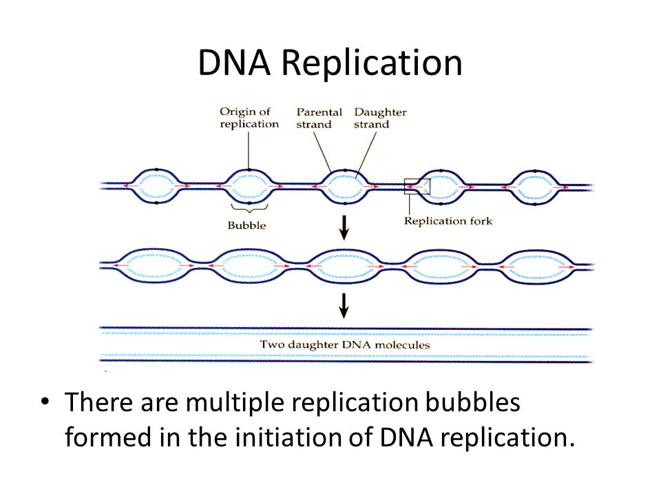 DNA Replication Synthesis The enzyme primase lays down a 10-15 nucleotide RNA primer sequence to start replication.