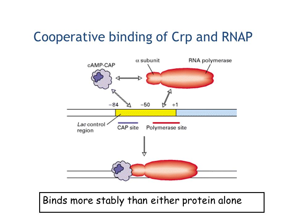 Cooperative binding of Crp and RNAP Binds more stably than either protein alone