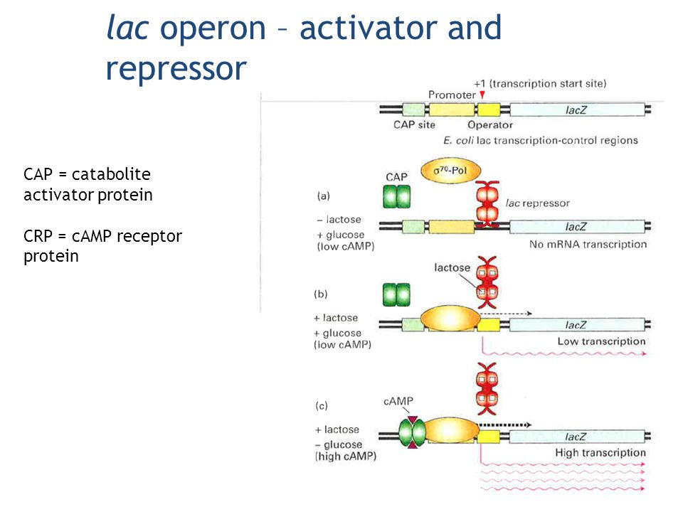 lac operon – activator and repressor CAP = catabolite activator protein CRP = cAMP receptor protein