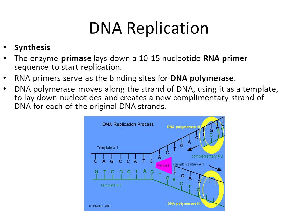 DNA Replication Synthesis The enzyme primase lays down a 10-15 nucleotide RNA primer sequence to start replication. RNA primers serve as the binding s
