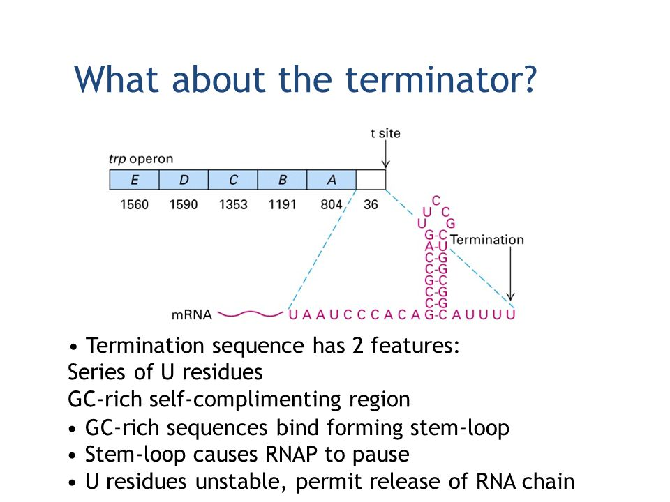 What about the terminator? Termination sequence has 2 features: Series of U residues GC-rich self-complimenting region GC-rich sequences bind forming