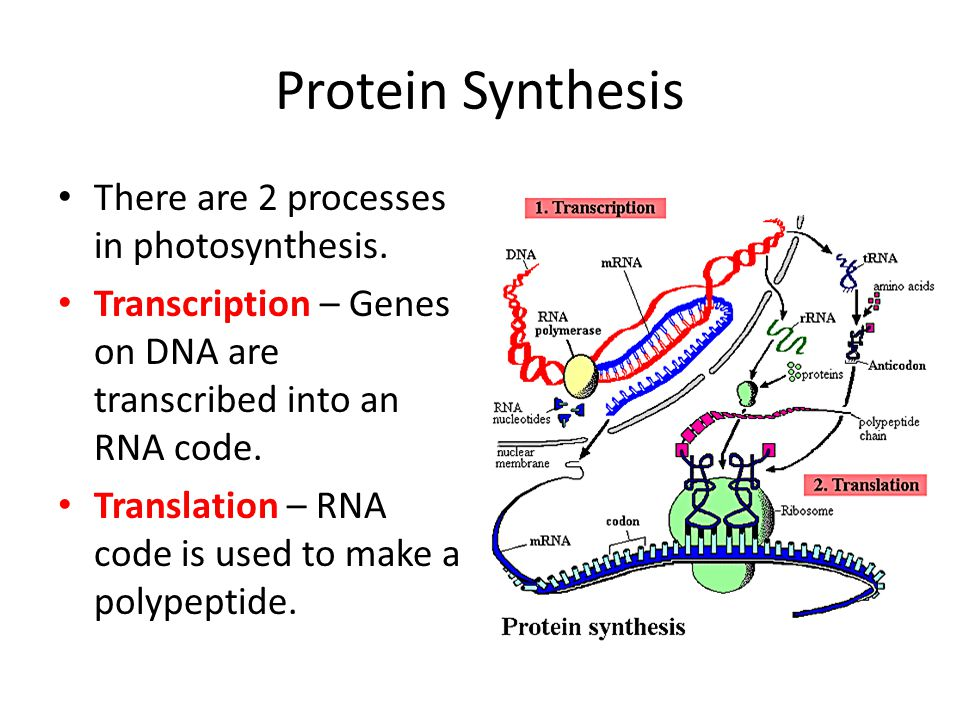 Protein Synthesis There are 2 processes in photosynthesis. Transcription – Genes on DNA are transcribed into an RNA code. Translation – RNA code is us