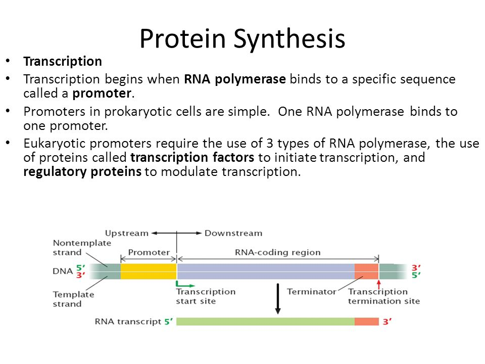 Protein Synthesis Transcription Transcription begins when RNA polymerase binds to a specific sequence called a promoter. Promoters in prokaryotic cell