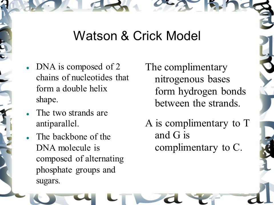 Watson & Crick Model DNA is composed of 2 chains of nucleotides that form a double helix shape. The two strands are antiparallel. The backbone of the