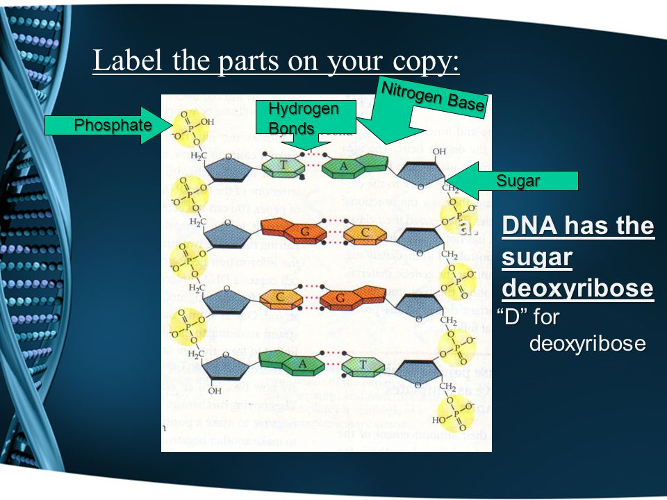 Label the parts on your copy: Phosphate Sugar Nitrogen Base Hydrogen Bonds a.DNA has the sugar deoxyribose D for deoxyribose D for deoxyribose