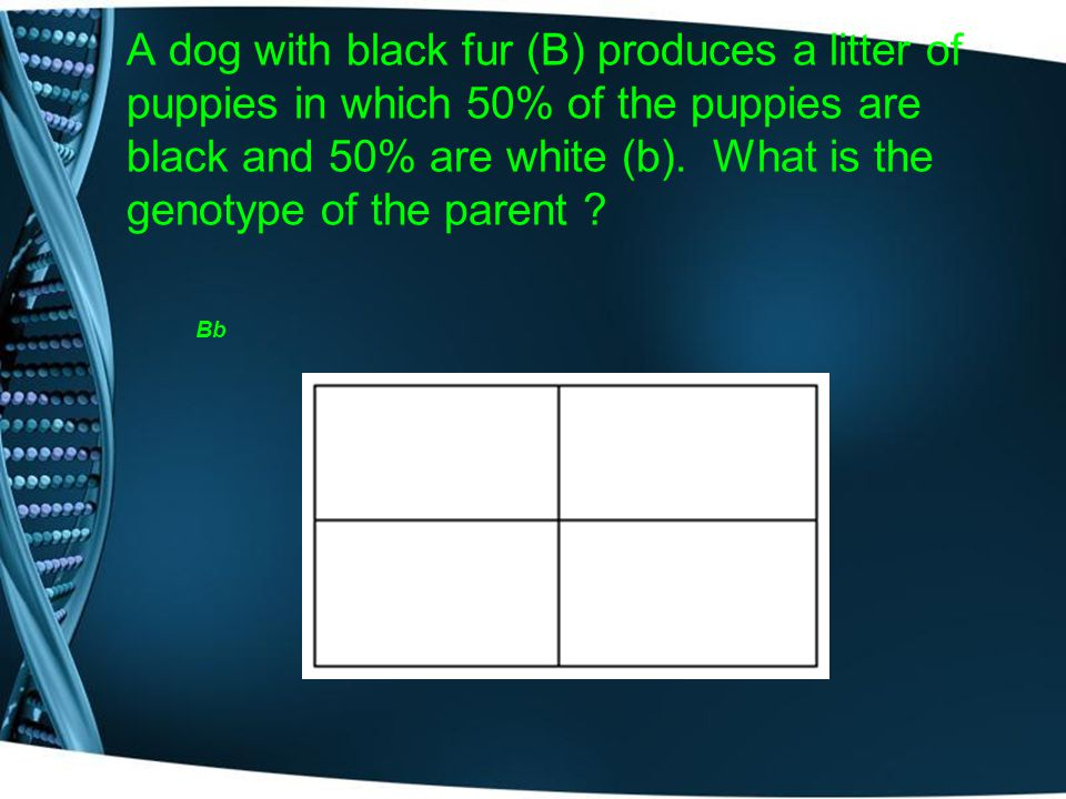 A dog with black fur (B) produces a litter of puppies in which 50% of the puppies are black and 50% are white (b). What is the genotype of the parent