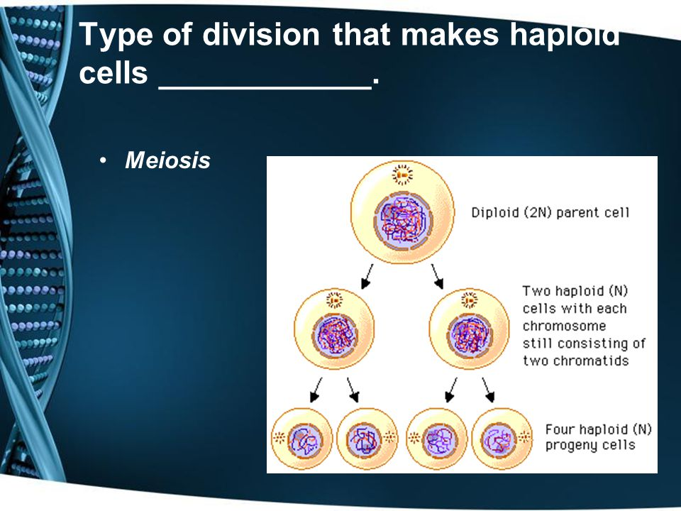 Type of division the makes diploid cells ___________. Mitosis