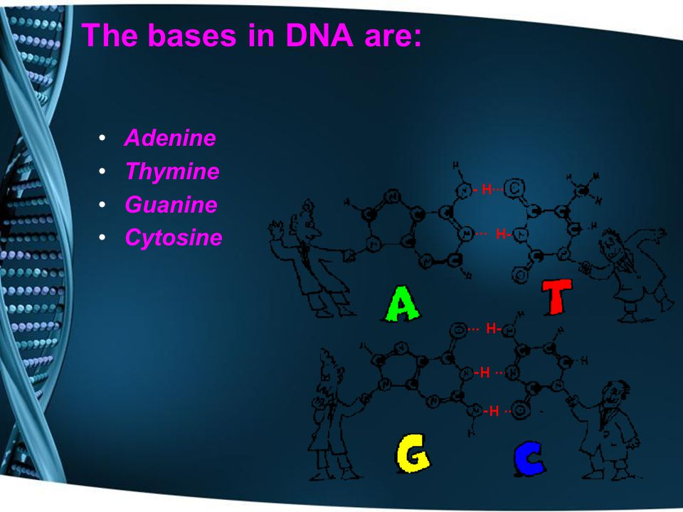The bases in DNA are: Adenine Thymine Guanine Cytosine