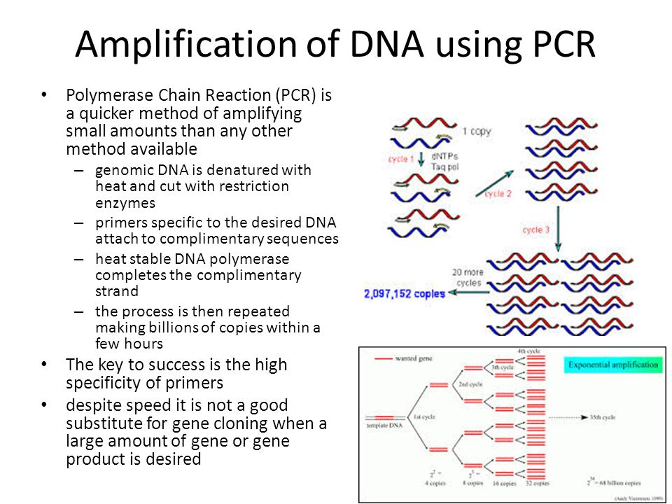 Amplification of DNA using PCR Polymerase Chain Reaction (PCR) is a quicker method of amplifying small amounts than any other method available – genomic DNA is denatured with heat and cut with restriction enzymes – primers specific to the desired DNA attach to complimentary sequences – heat stable DNA polymerase completes the complimentary strand – the process is then repeated making billions of copies within a few hours The key to success is the high specificity of primers despite speed it is not a good substitute for gene cloning when a large amount of gene or gene product is desired