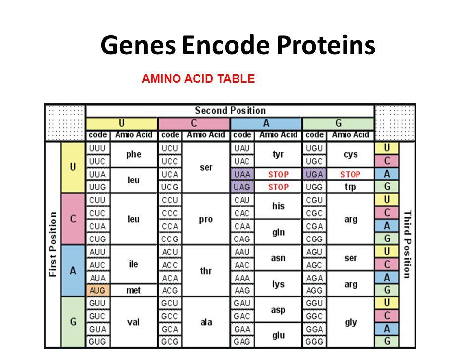 Genes Encode Proteins AMINO ACID TABLE