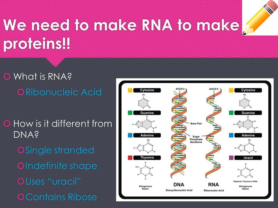 """We need to make RNA to make proteins!!  What is RNA?  Ribonucleic Acid  How is it different from DNA?  Single stranded  Indefinite shape  Uses """""""