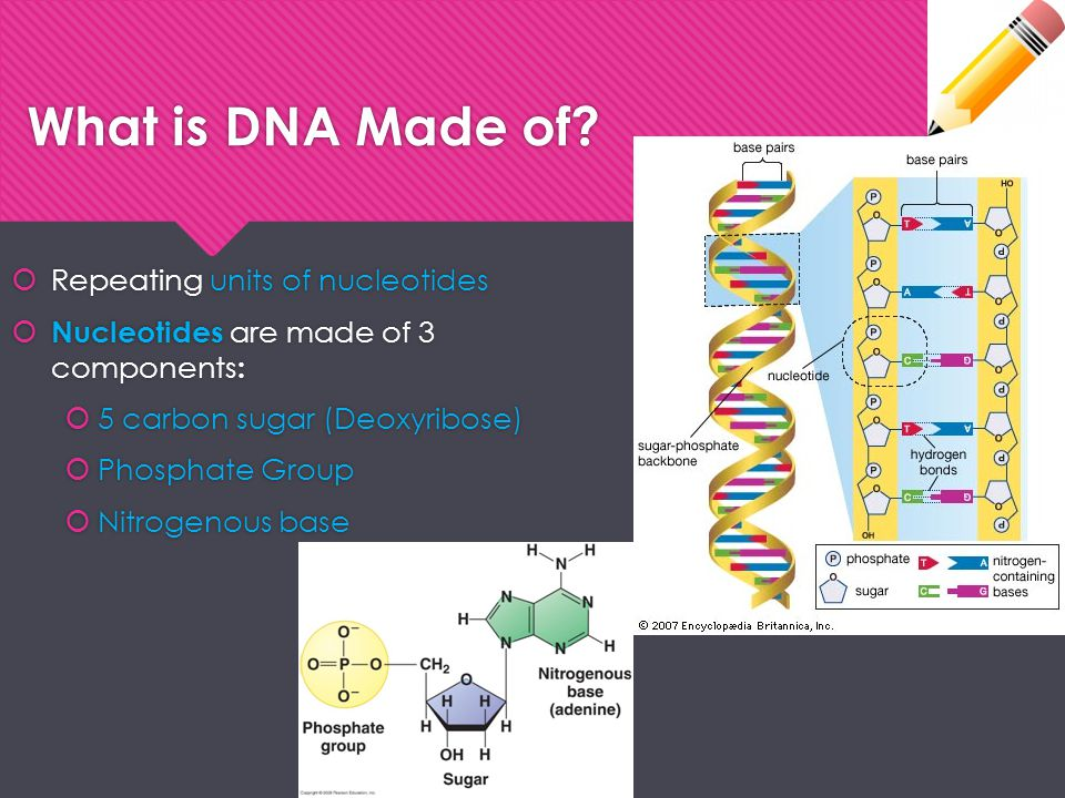 Transcription  Step 3: mRNA detaches once entire gene is done and DNA rewinds:  mRNA strand leaves nucleus through pores  Goes to cytoplasm to help ribosomes make proteins  *Delivers directions from DNA for how to make proteins  Step 3: mRNA detaches once entire gene is done and DNA rewinds:  mRNA strand leaves nucleus through pores  Goes to cytoplasm to help ribosomes make proteins  *Delivers directions from DNA for how to make proteins *Many copies of RNA can be made from the same gene in a short period of time.