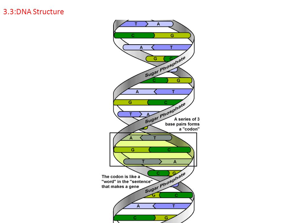 3.3.1: Outline DNA nucleotide structure in terms of sugar (deoxyribose), base and phosphate.