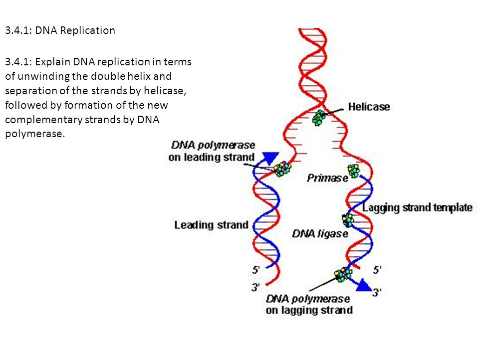 3.4.1: DNA Replication 3.4.1: Explain DNA replication in terms of unwinding the double helix and separation of the strands by helicase, followed by fo