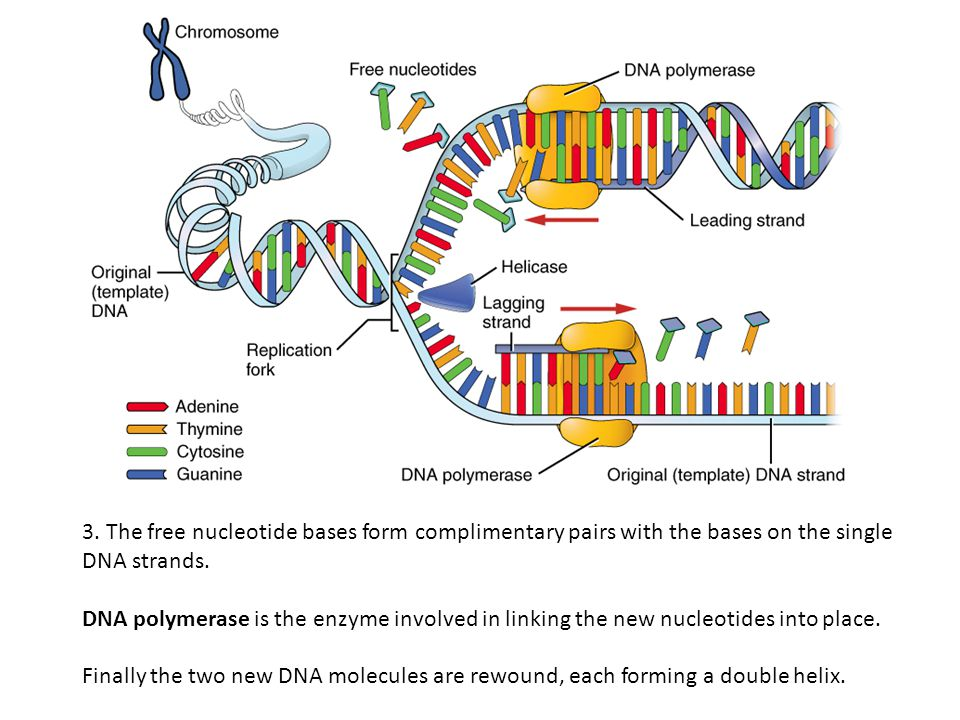 3. The free nucleotide bases form complimentary pairs with the bases on the single DNA strands. DNA polymerase is the enzyme involved in linking the n