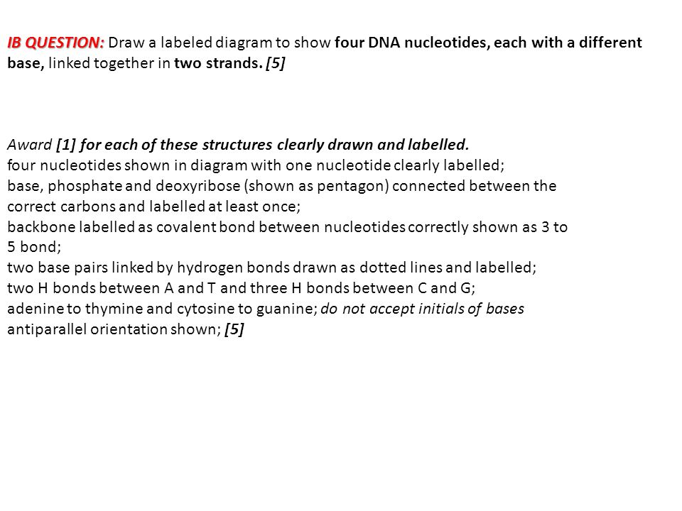 IB QUESTION: IB QUESTION: Draw a labeled diagram to show four DNA nucleotides, each with a different base, linked together in two strands. [5] Award [